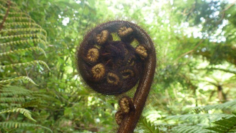 Koru, der sich entfaltende Farn. Für die Maori ein Symbol für Wachstum, Entwicklung und Kraft.