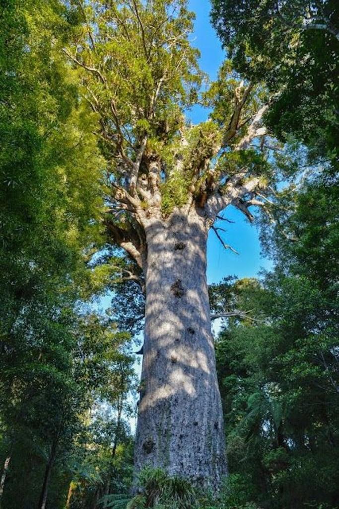 Tane Mahuta, der Herr des Waldes