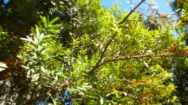 Ein  Erkennungsmerkmal der Kauribäume sind die spitzen, kleinen Blätter.