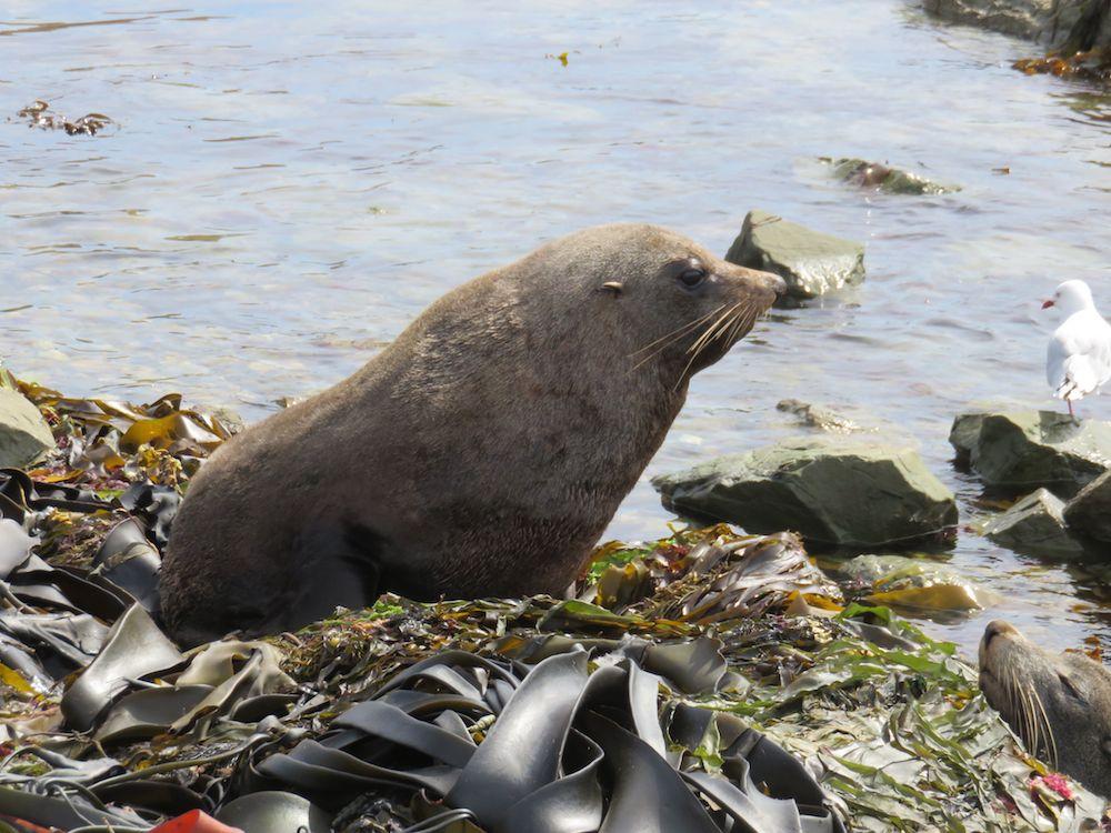 eine fette Robbe am Strand in Kaikoura