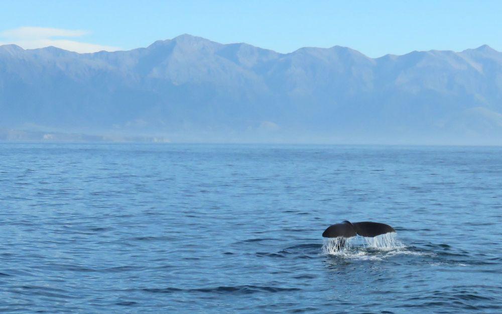 der entscheidende Moment zum Fotografieren ist, wenn die Walflosse rauskommt