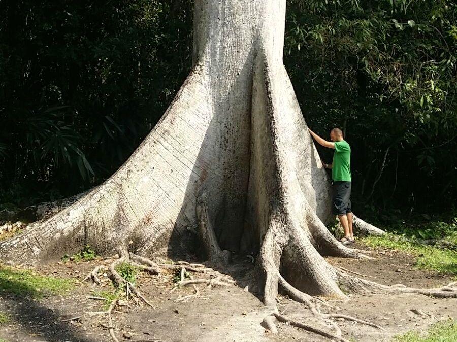 Die Ceiba - Lebensbaum der Maya und Ausdruck von Kraft