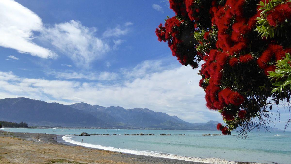 Wenn rund um Weihnachten der Pohutukava blüht, ist der Ozean ja bekanntlich voller Köstlichkeiten.
